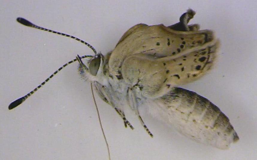borboleta deformada Fukushima