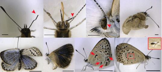 borboletas Fukushima