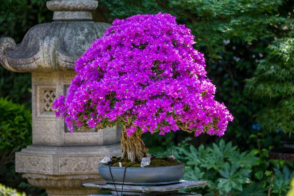 bonsai Omiya Japão