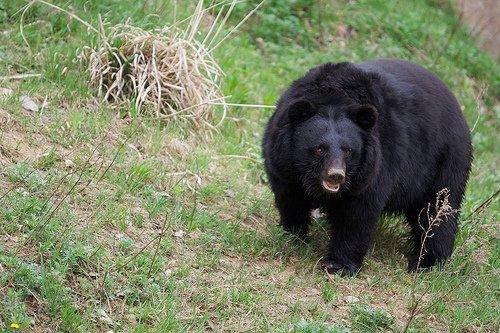 urso preto japonês