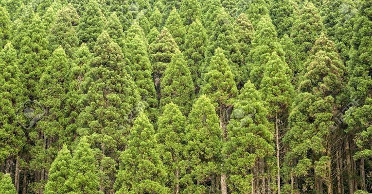 Árvores de cedro no Japão