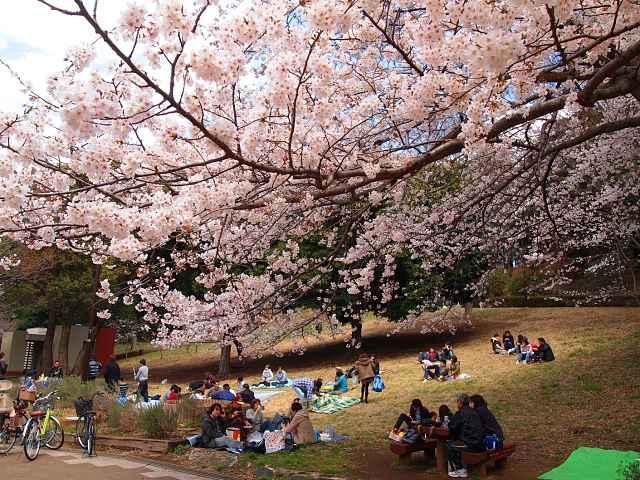 Sakura no parque mitsuike
