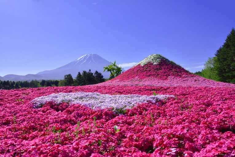 Flores de Shibazakura