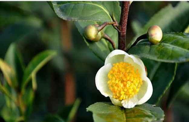 flor do chá verde