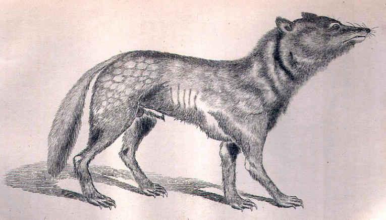 Lobo japonês