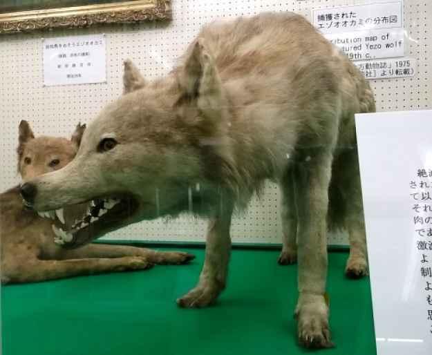 Lobo japonês Ezo