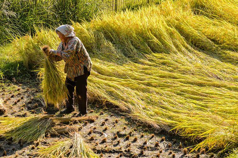 Mulher colhe grãos de arroz japonica