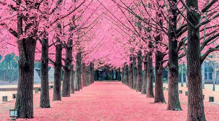 Pétalas de Sakura no chão