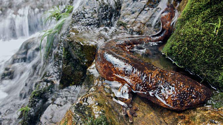 Salamandra gigante do Japão deitada em pedra