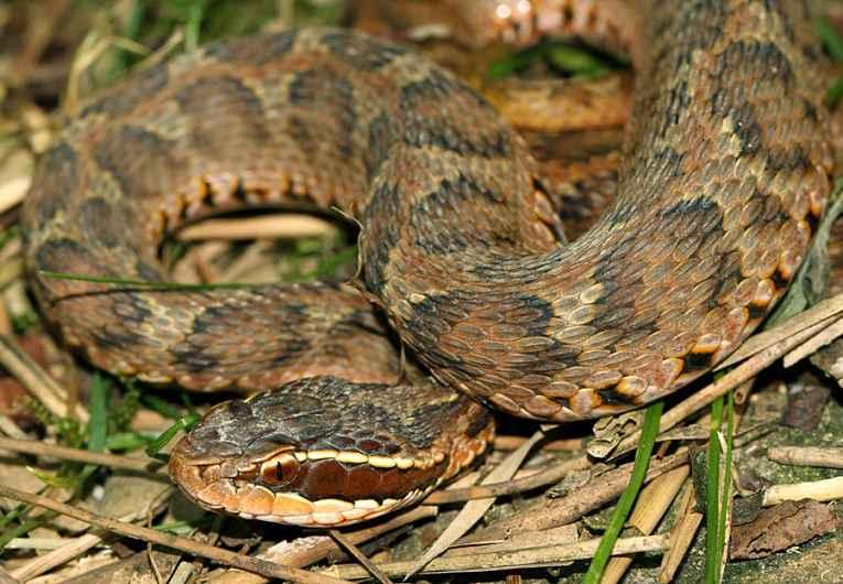 Cobra mamushi no meio da grama seca