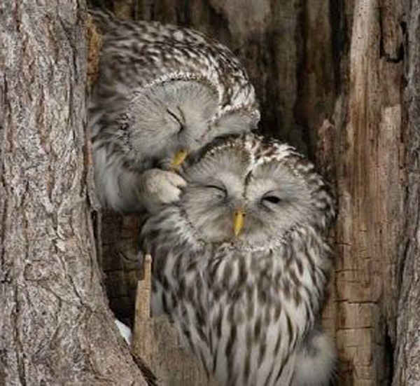 Casal coruja em casco de árvore