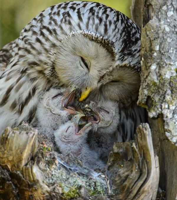 Coruja alimenta filhotes